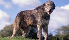 afghan hound ireland irish wolfhound breed information