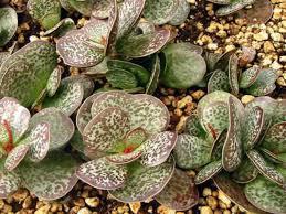Low Light Succulents by 52 Best Adromischus Images On Pinterest Succulent Plants Cacti