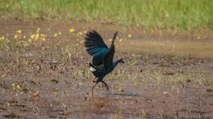 listbirds birds list birds of kerala