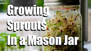 how to grow sprouts indoors in a mason jar no soil required