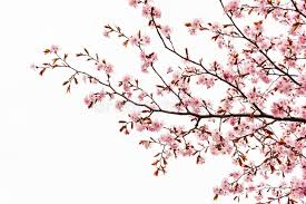 cherry blossom or tree isolated stock illustration