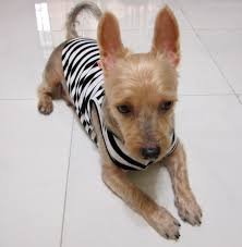 silky haircuts silky terrier haircut styles hairs picture gallery
