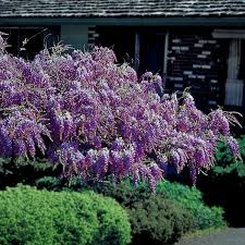 wisteria plants from stark bro s wisteria plants for sale