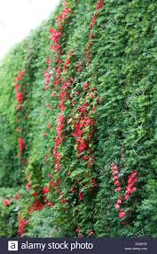 a red tropaeolum speciosum climbing plant growing through a yew