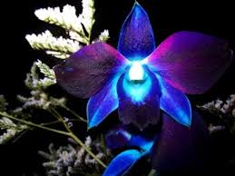 blue orchids popular collection of blue orchid flower pictures