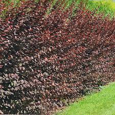 arbuste feuillage pourpre persistant plantes de haies les nouvelles pépinière du gatinais