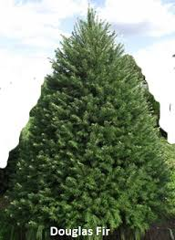 balsam fir christmas tree christmas tree varieties photos and information to choose the best