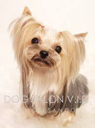 haircuts for yorkie dogs females 13 best yorkie cuts images on pinterest cute dogs cutest