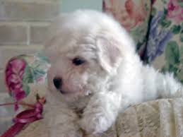 bichon frise training bichon frise puppies in minnesota experienced breeders of bichon
