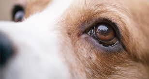 Temporary Blindness In Dogs 7 Potentially Serious Causes Of Cloudy Eyes In Dogs Petcoach