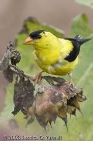 Florida Backyard Birds - yellow trees in florida the only bird native to florida to