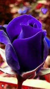 Shades Of Purple About Purple Roses Purple And Rose