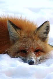 sleeping red fox wallpapers 100 best red fox reference images on pinterest adorable animals
