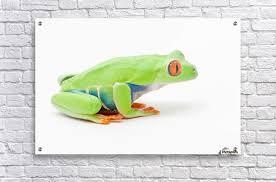 eyed tree frog agalychnis callidryas edmonton alberta