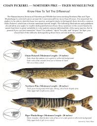 identification poster of tiger muskie northern pike and chain