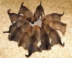 belgian malinois puppies 6 months belgian malinois puppies