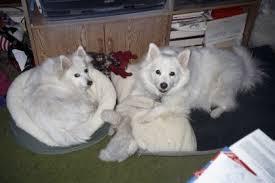 american eskimo dog forum american eskimo and diabeties