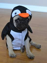 Penguin Halloween Costumes Boo Pug Puppy Penguin Halloween Costume Album Imgur
