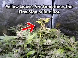 what causes cannabis leaves to get dry or crispy grow weed easy