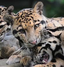 the clouded leopard conserving asia u0027s elusive arboreal acrobat