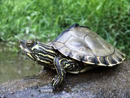 Texas Map Turtle The Big Turtle Year U2014 The Big Turtle Year