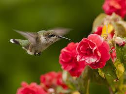 Hummingbird Flowers Bird Animals Birds Animal Hummingbird Flowers Bird Image High
