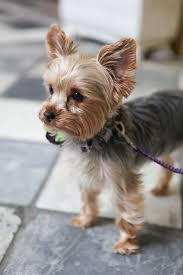 haircuts for yorkie dogs females yorkshire terrier energetic and affectionate pup yorkies and