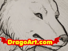 how to draw a wolf timber wolf sketch step by step in pencil