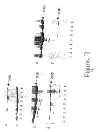 patent us20030134790 bone morphogenetic protein 2 and bone