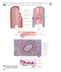 cardiovascular system cvs u2013 part two blood vessels
