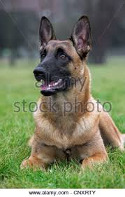 belgian shepherd dog malinois close up of belgian shepherd dog malinois working as attack dog