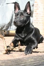 belgian sheepdog groenendael rescue best 25 black belgian malinois ideas on pinterest belgian