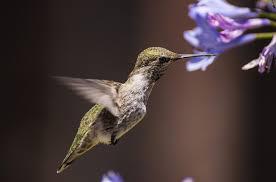 free hummingbird wallpaper for kindle wallpapersafari