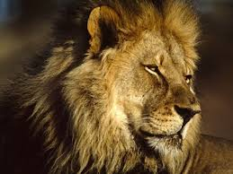 male lion wallpapers very sweet and cute animals african lions wallpapers
