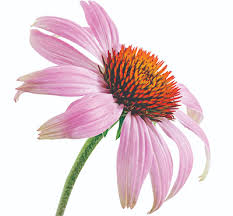 Echinacea Flower Winter Megafood