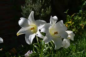 Lily Flower Garden - free photo lily white flower garden sun free image on