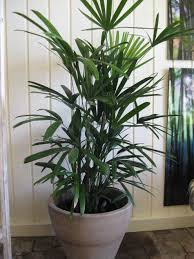 large houseplants it is one of the sturdiest houseplants it is easy to maintain and