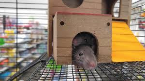 Garden Rodents Types Rodent That Make Good Pets Topbest Blog