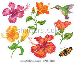 hummingbird and hibiscus flower stock images royalty free