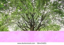looking on big tamarind tree stock photo 564434851