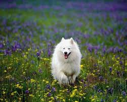 american eskimo dog growling 17 dog breeds list that look like wolves wolf dogs zoopedia
