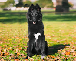 belgian shepherd kinds belgian shepherd groenendael dog puppy dog gallery