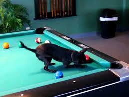 smallest room for a pool table chihuahua dog playing pool dog plays and animal