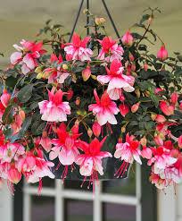 Fuschia Bedding Buy Bedding Plants Now Hanging Fuchsia U0027el Camino U0027 Bakker Com