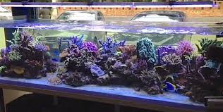 led lights for coral tanks sicce led s bicolored light still results in impressive sps corals