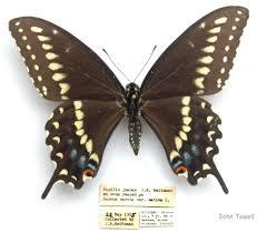 ozark swallowtail papilio joanae heitzman 1973 butterflies and