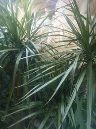 the history of the dracaena appearance