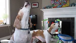 bluetick coonhound dander basset hound mix and treeing walker coonhound howling youtube