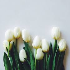 white tulips white tulips wallpapers 14480 hdwpro