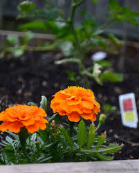 How To Keep Pests Away From Garden - keep garden pests away with companion planting hobby farms